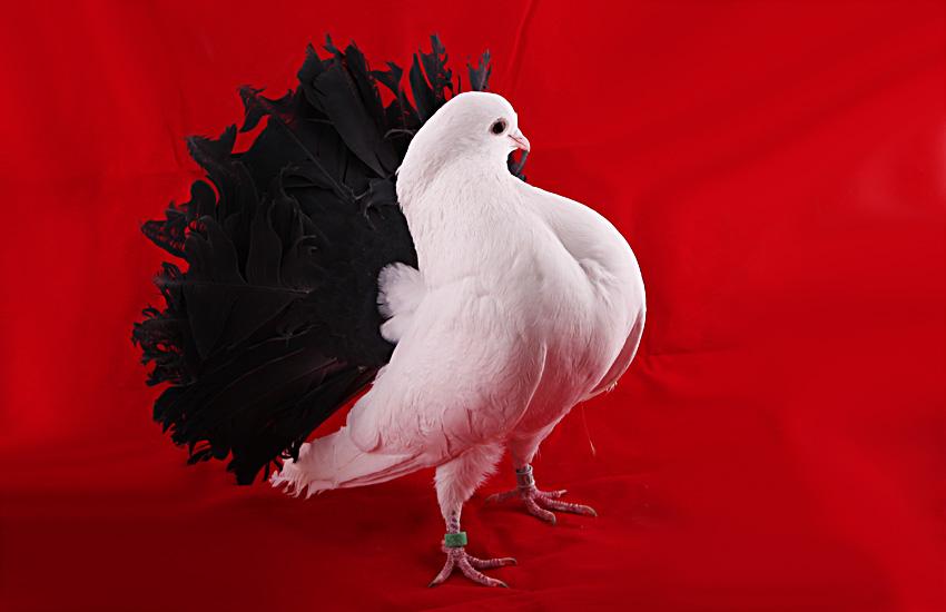 самые красивые голуби мира фото в большом формате