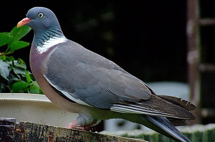 голубь дикий фото